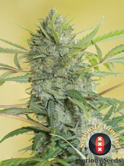 Serious Happiness Feminised Seeds - 6