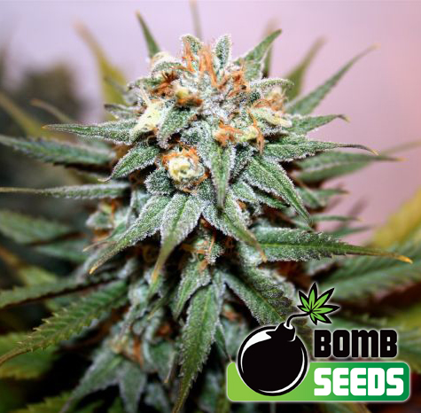 Hash Bomb Feminised Seeds