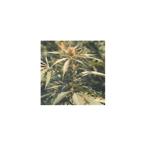 Hawaii Maui Waui Feminised Seeds - 5