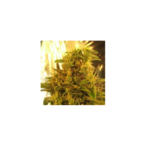 Amnesia Haze Feminised Seeds - 5 (formerly Haze #1)