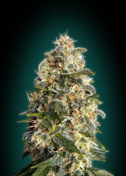 Heavy Bud Feminised Seeds