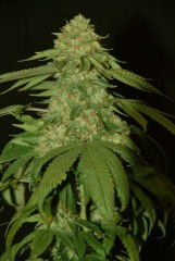Holy Grail Kush Feminised Seeds