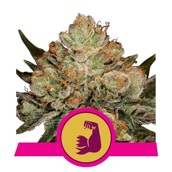 HulkBerry Feminised Seeds