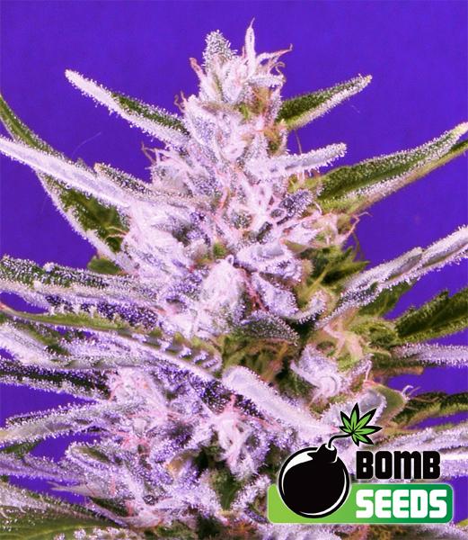 Ice Bomb Feminised Seeds