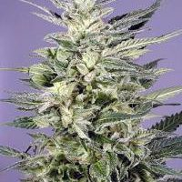 Jorge's Diamonds #1 Feminised Seeds