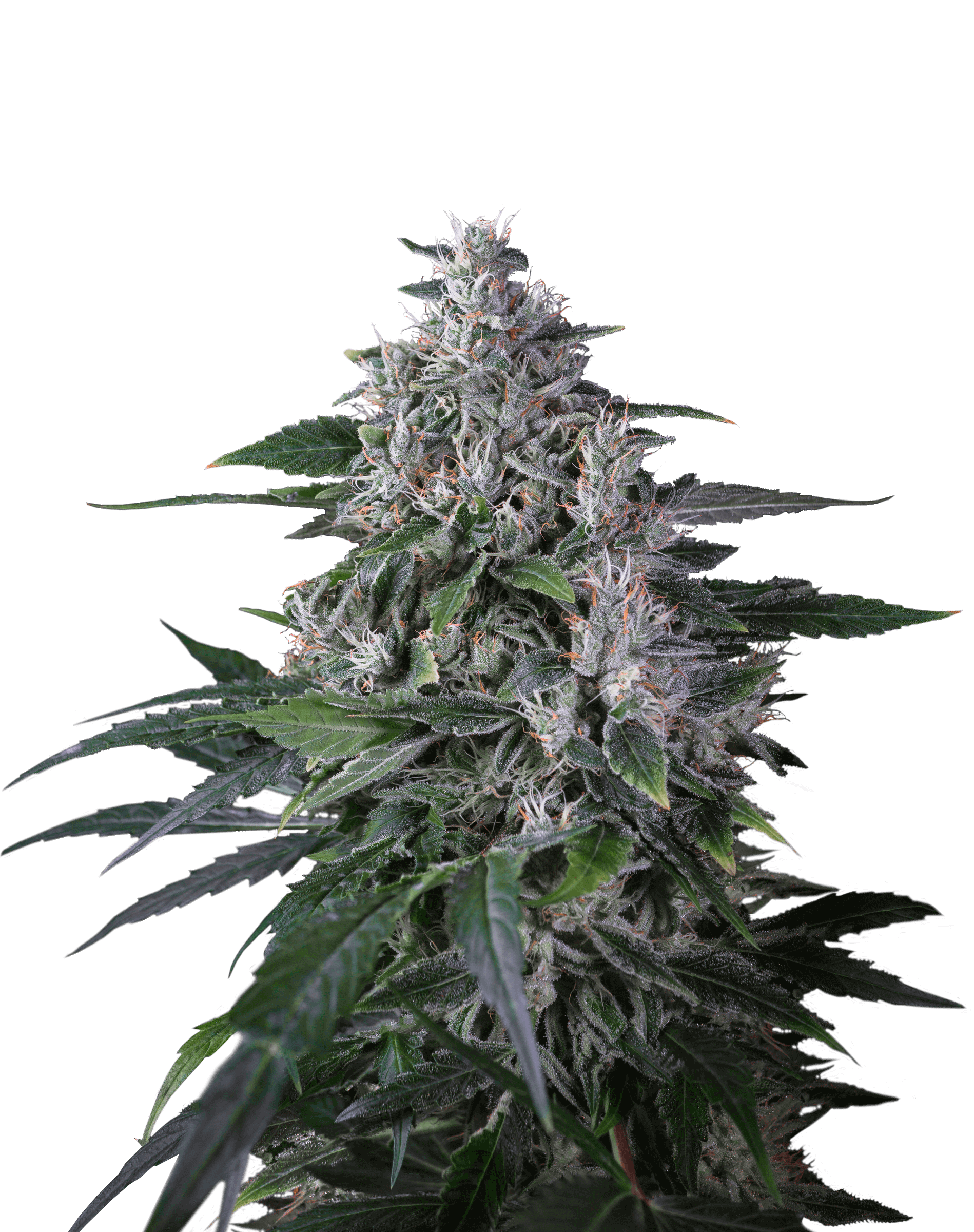 Karel's Haze Regular Seeds