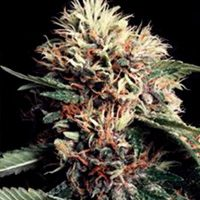Ketama Regular Seeds