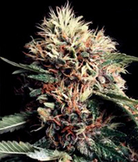 Ketama Feminised Seeds