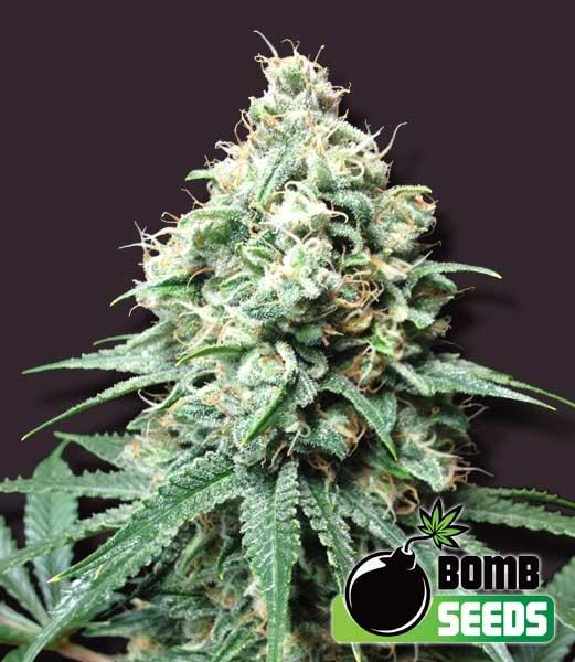 Kush Bomb Regular Seeds - 10