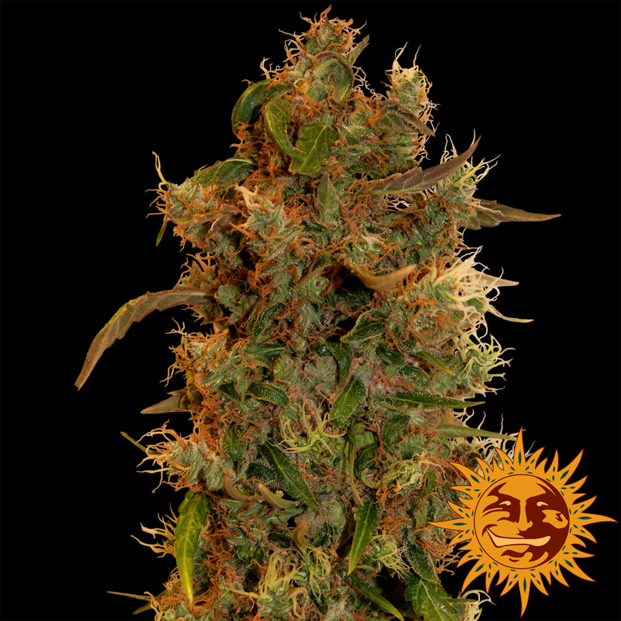 8 Ball Kush Feminised Seeds