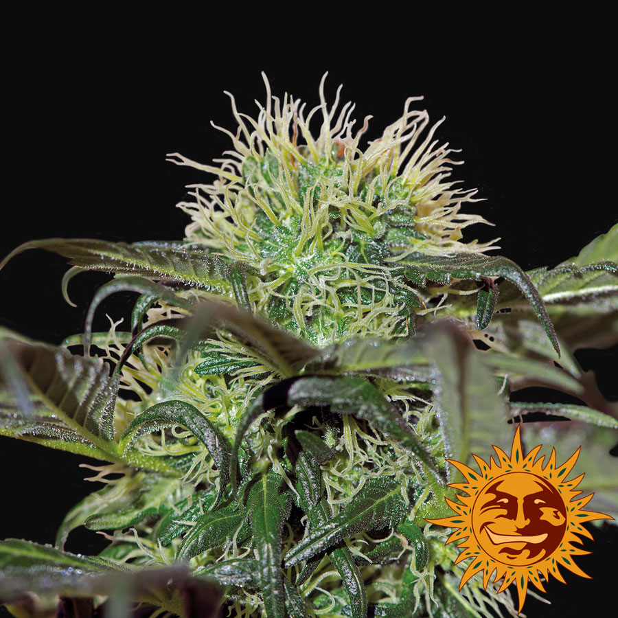 Bad Azz Kush Feminised Seeds