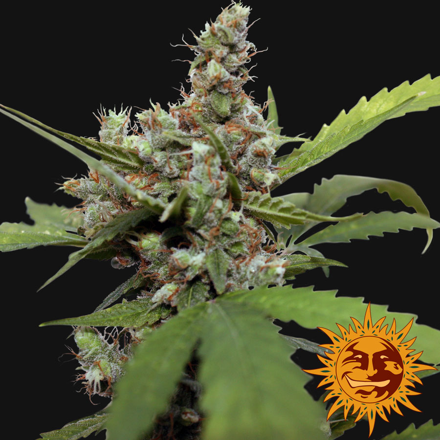 Blue Shark CBD Feminised Seeds