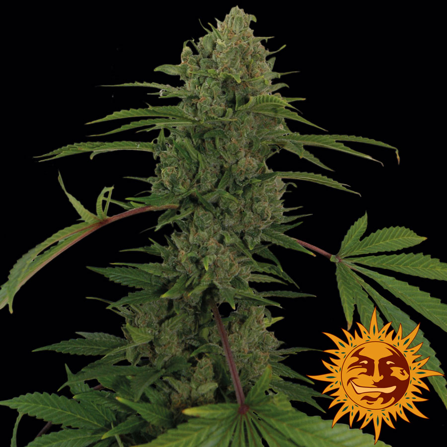 Critical Kush Auto Feminised Seeds