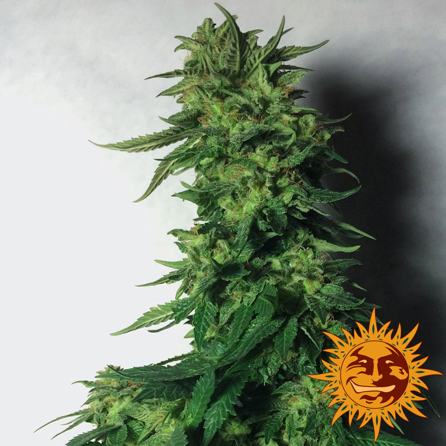 LSD Feminised Seeds