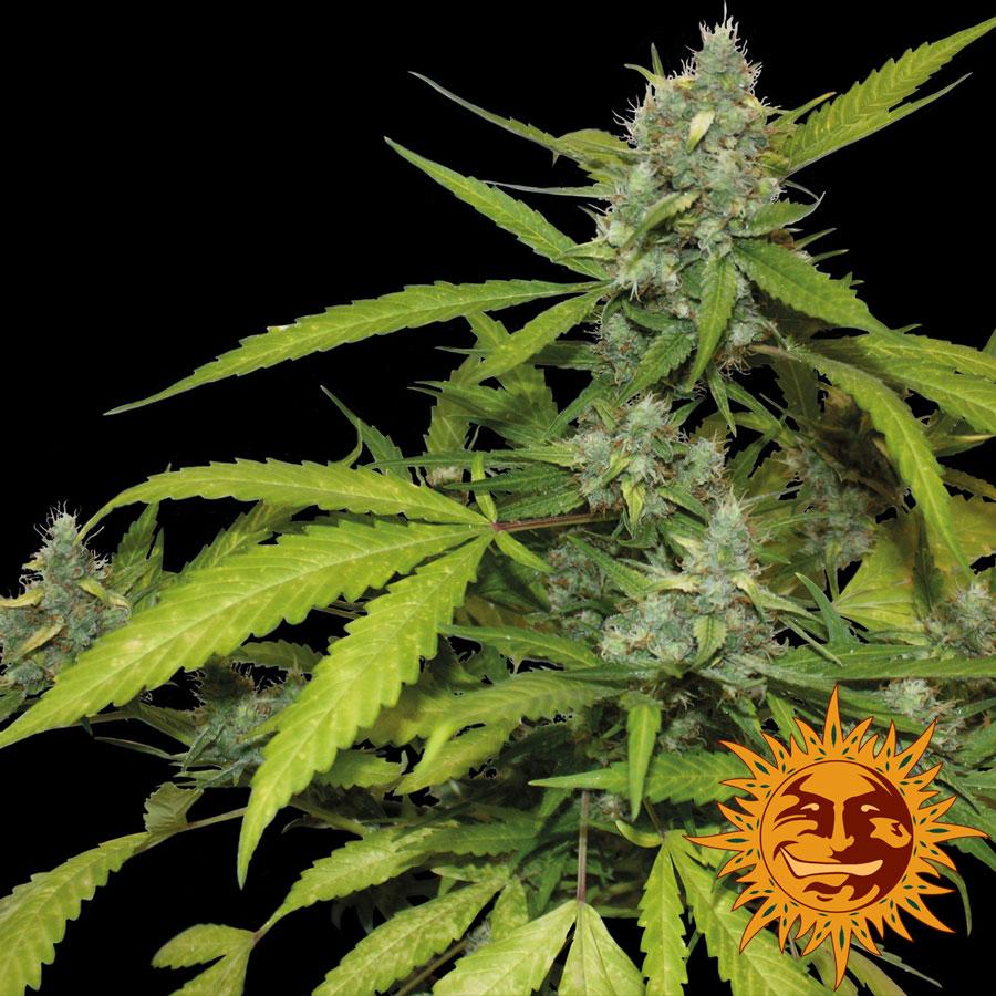 Sweet Tooth Auto Feminised Seeds