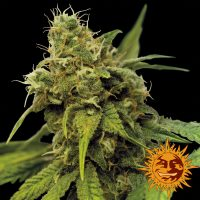 Utopia Haze Feminised Seeds