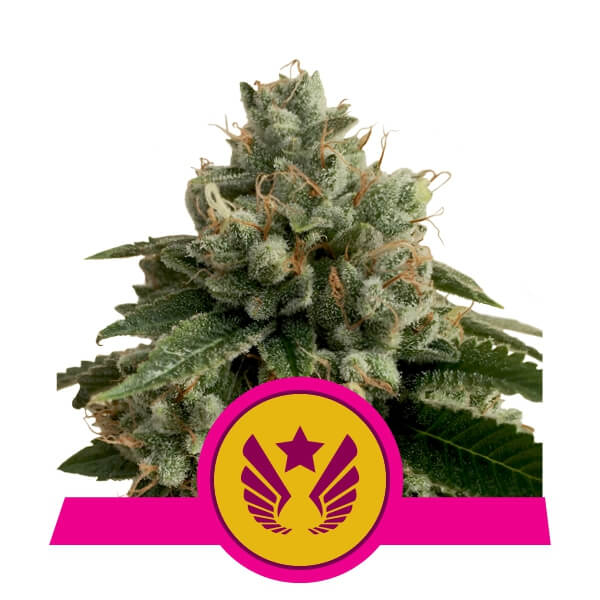 Legendary OG Punch Feminised Seeds