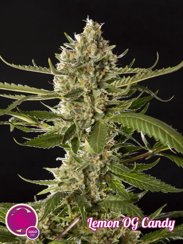 Lemon OG Candy Feminised Seeds