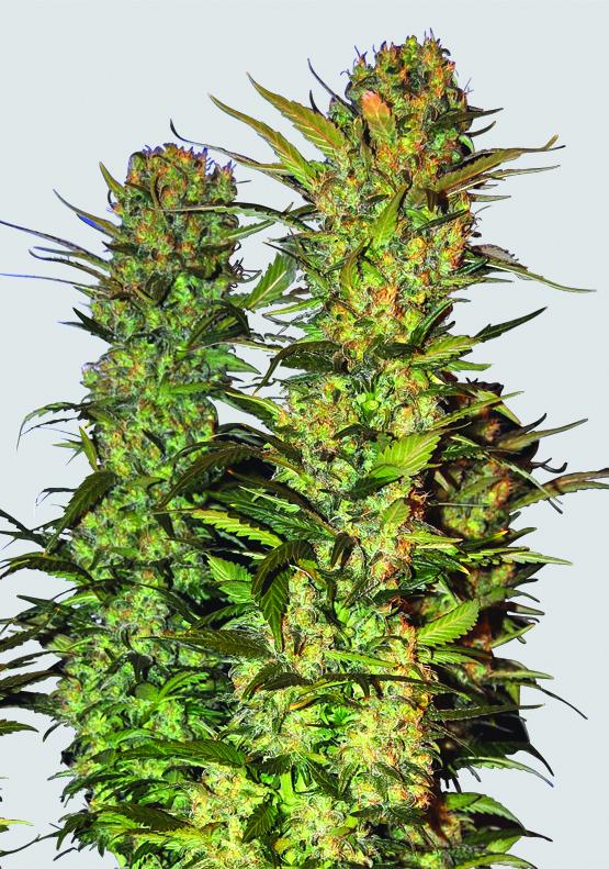 Lithium OG Kush Feminised Seeds - 5
