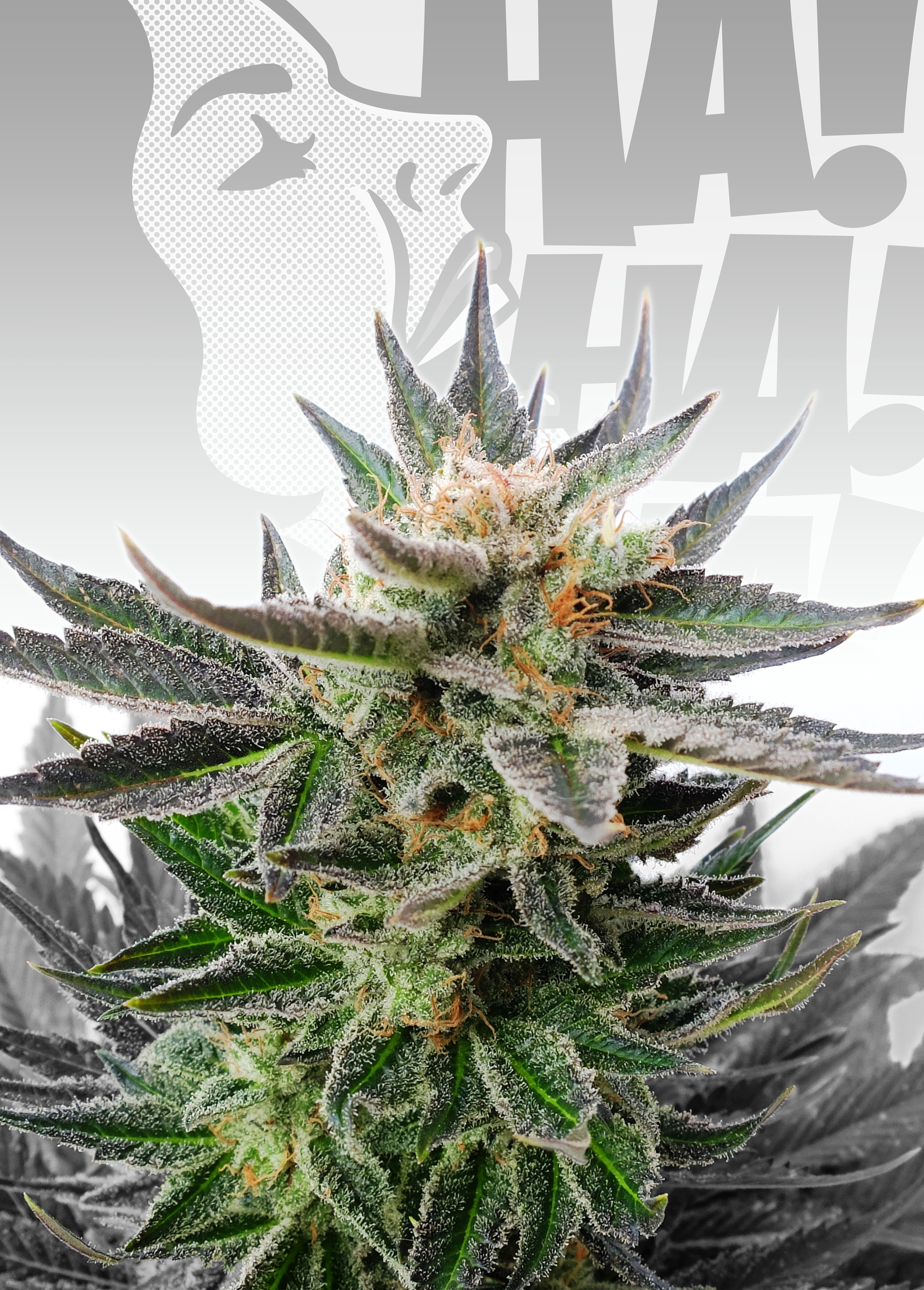 Sativa Dream (LOL) Feminised Seeds