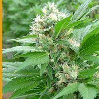 Magic Bud Feminised Seeds
