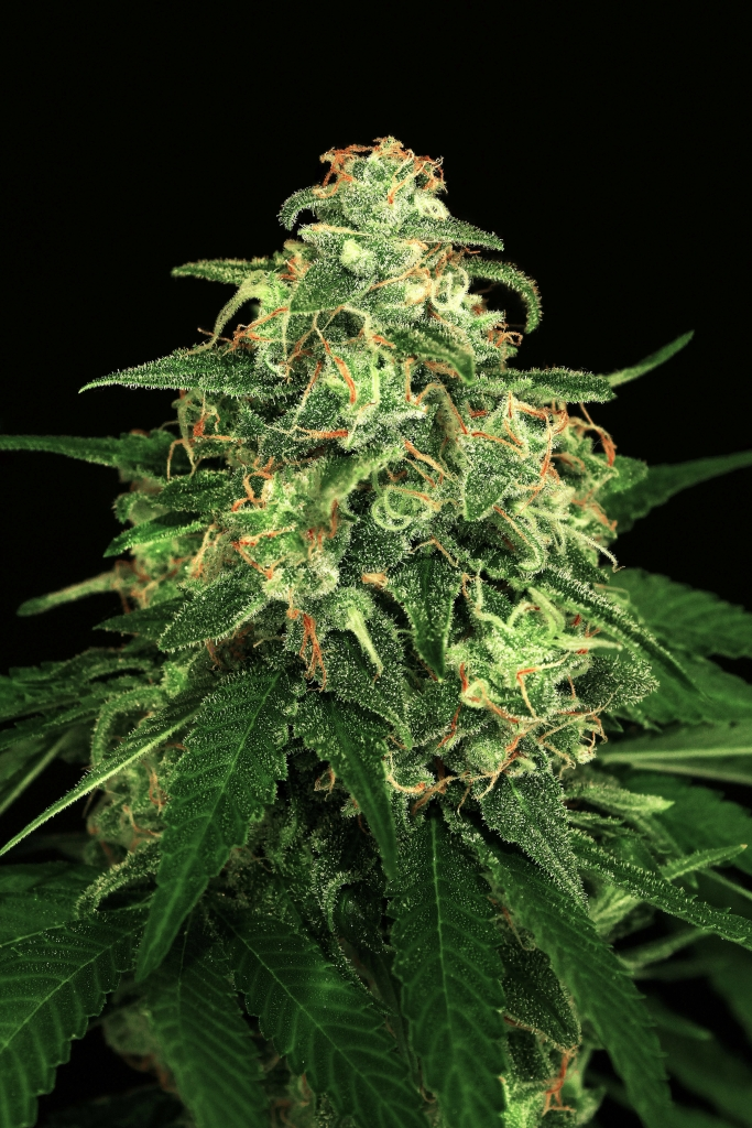 Mango Cream Feminised Seeds