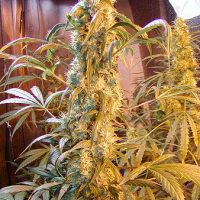 Mango Widow Regular Seeds - 18