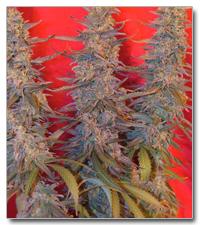 Purple Maroc Feminised Seeds
