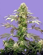 Matanuska Tundra Regular Seeds - 10