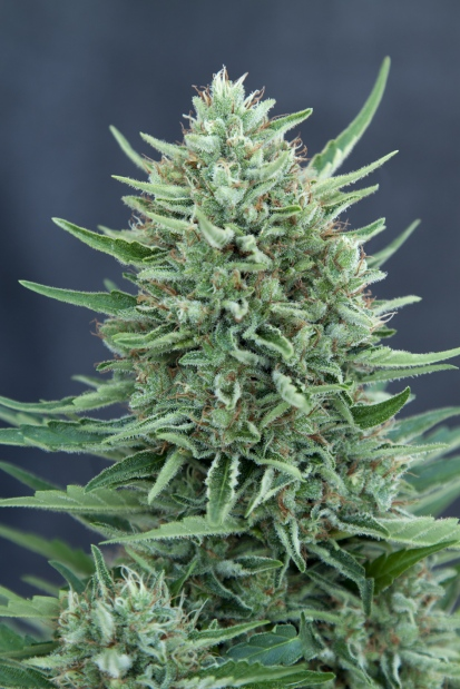 MED GOM 1.0 Auto Feminised Seeds