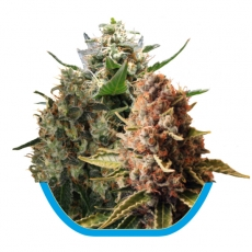Medical Mix CBD Feminised Seeds