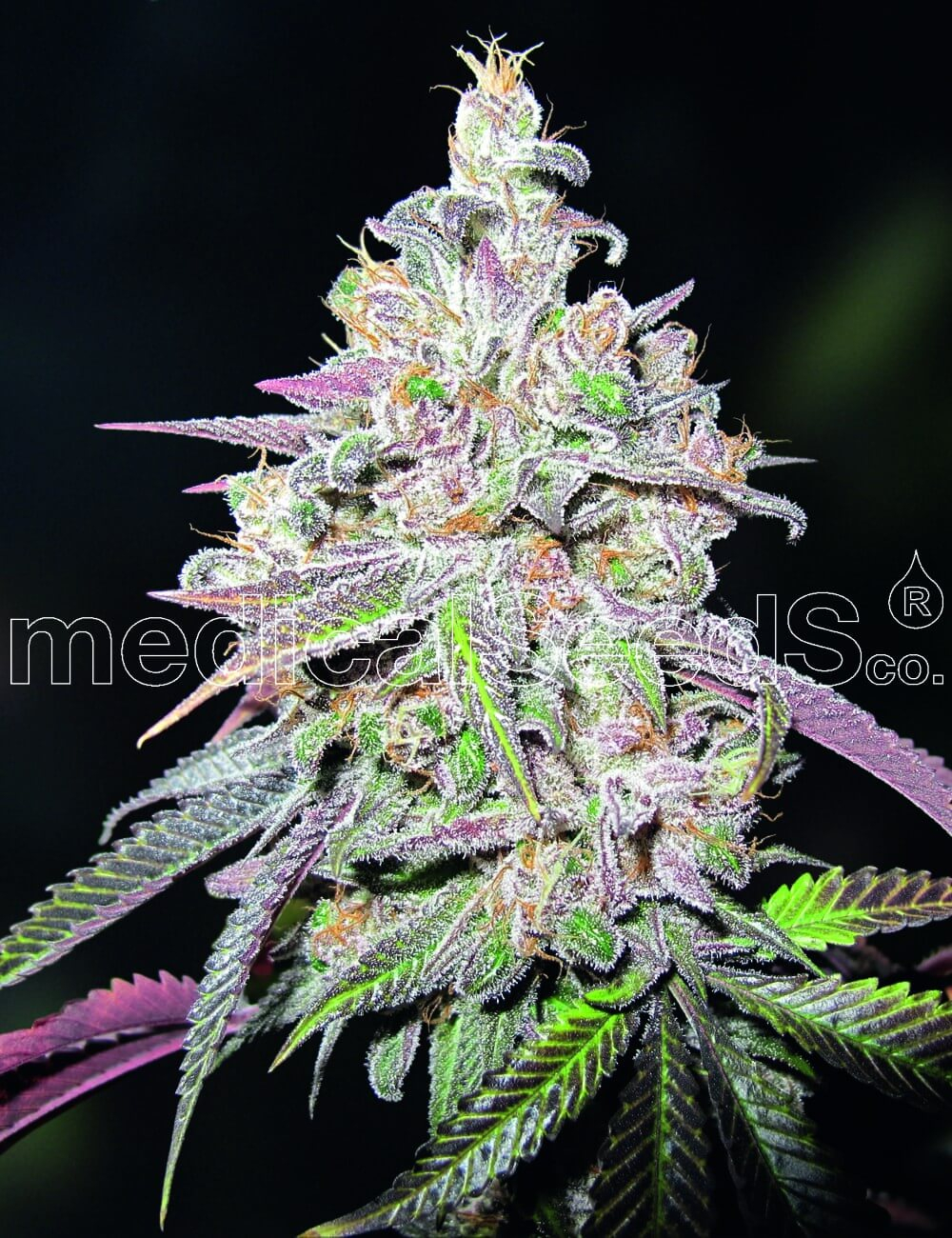 Mendocino Chanel Kush Feminised Seeds