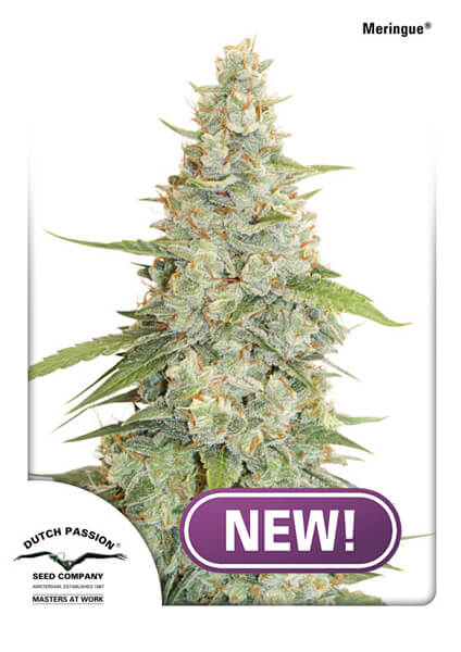 Meringue Feminised Seeds