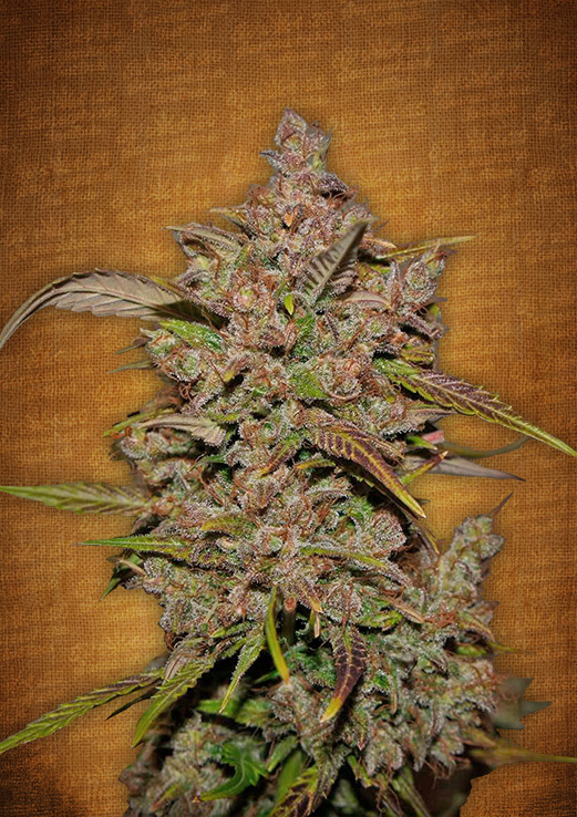 Crystal METH Auto Feminised Seeds