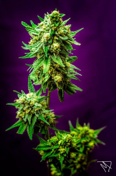 Micky Kush Regular Seeds