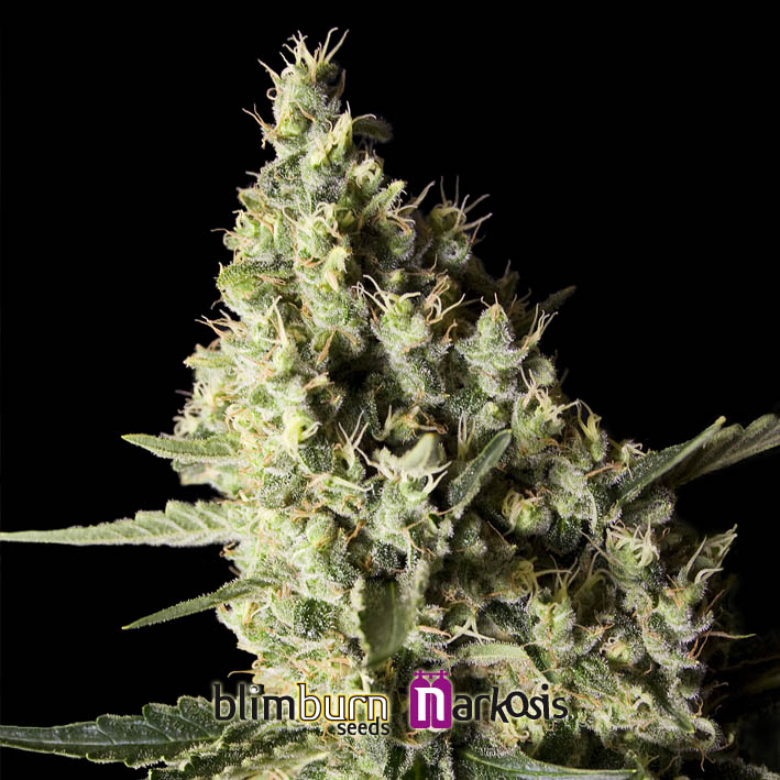 Narkosis Feminised Seeds