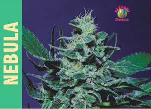 Nebula Feminised Seeds