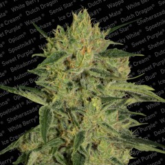Nebula 1:1 CBD Feminised Seeds
