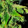 Nemesis Feminised Seeds