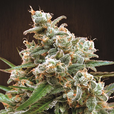 Nepal Jam Feminised Seeds