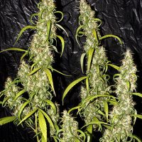 Neville's Haze Regular Seeds - 18
