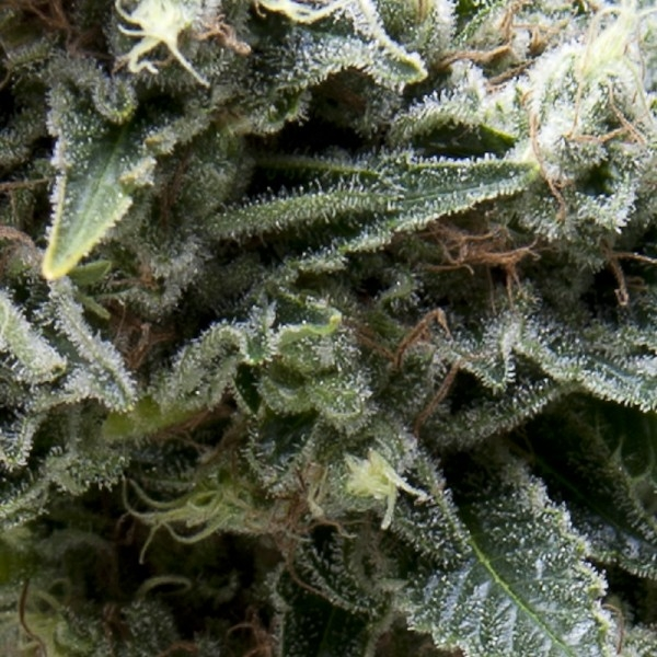 New York City CBD Auto Feminised Seeds