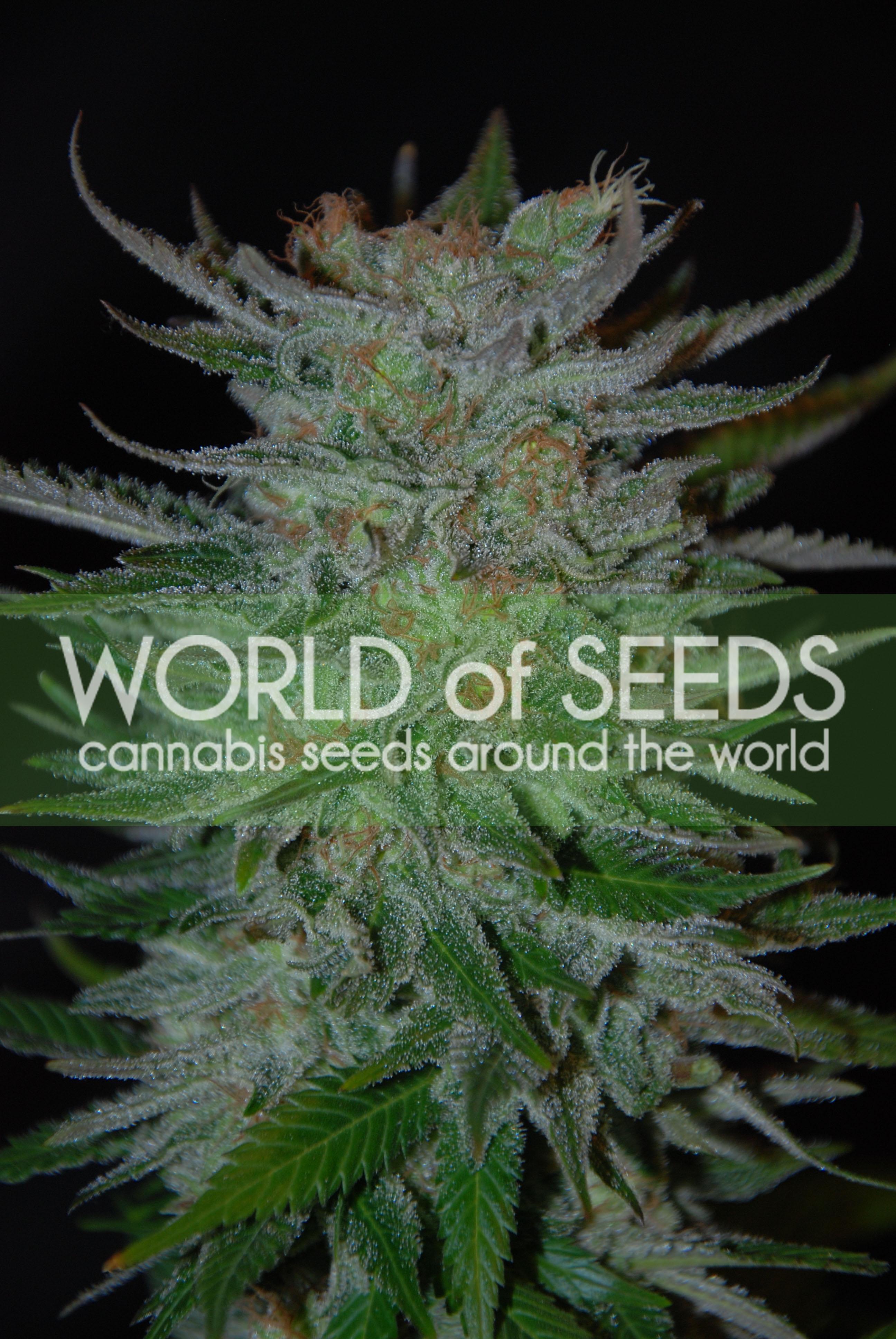 New York 47 Feminised Seeds