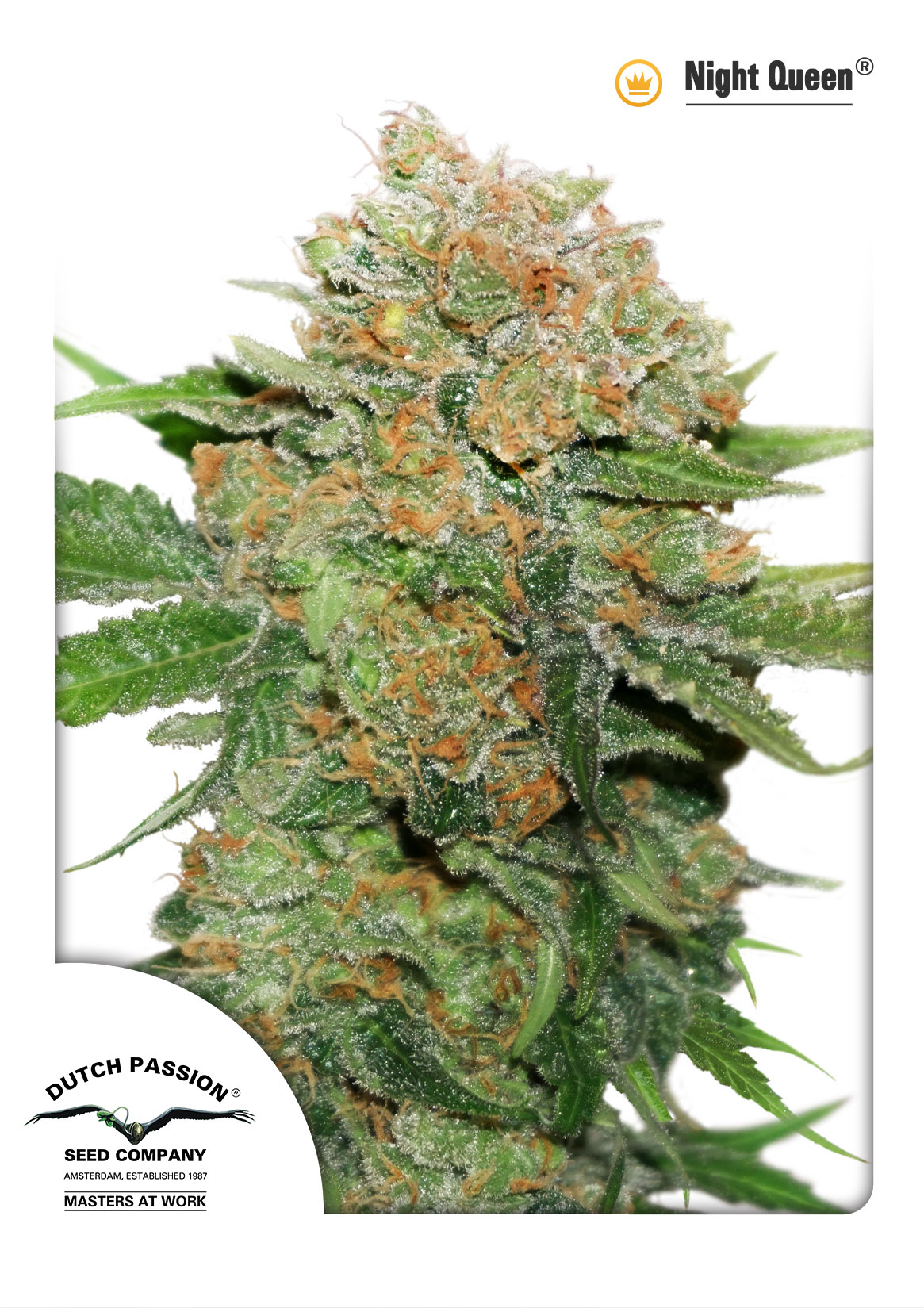 Night Queen Feminised Seeds