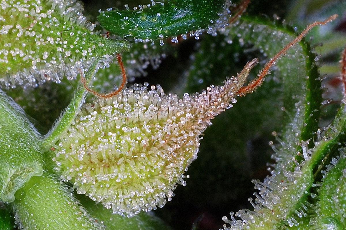 Nitro Express Regular Seeds