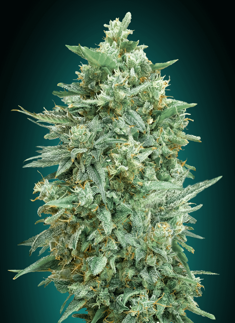 Northern Lights XXL Auto Feminised Seeds