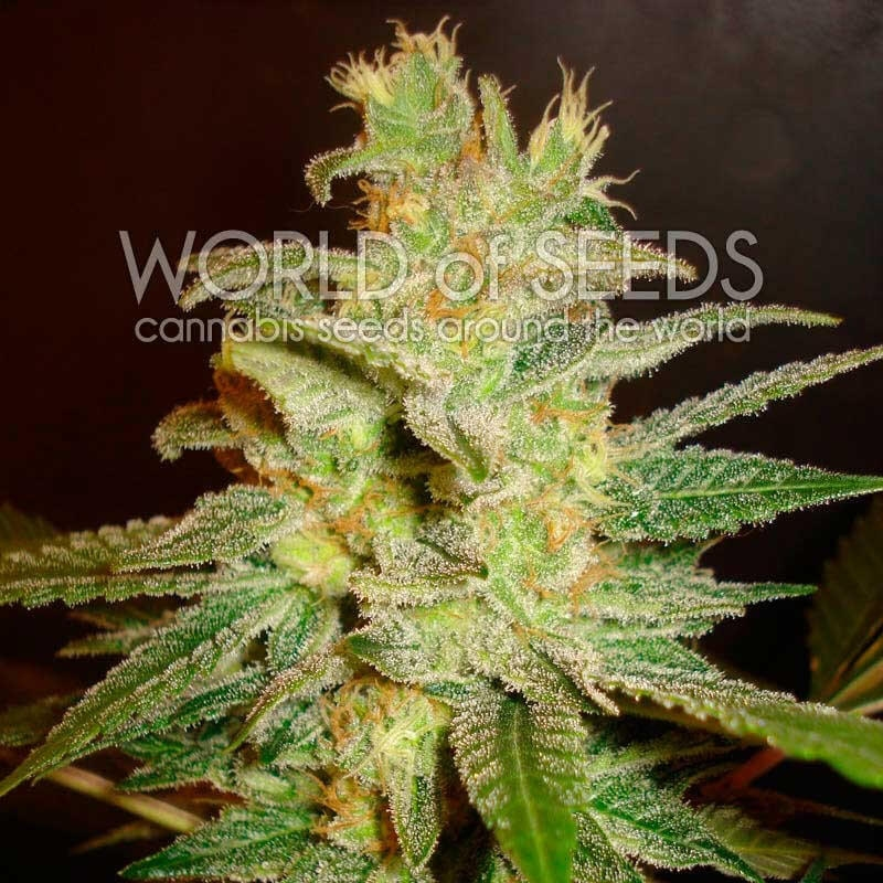 Northern Light x Big Bud Early Harvest Feminised Seeds