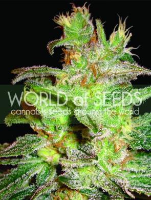 Northern Light x Big Bud Feminised Seeds