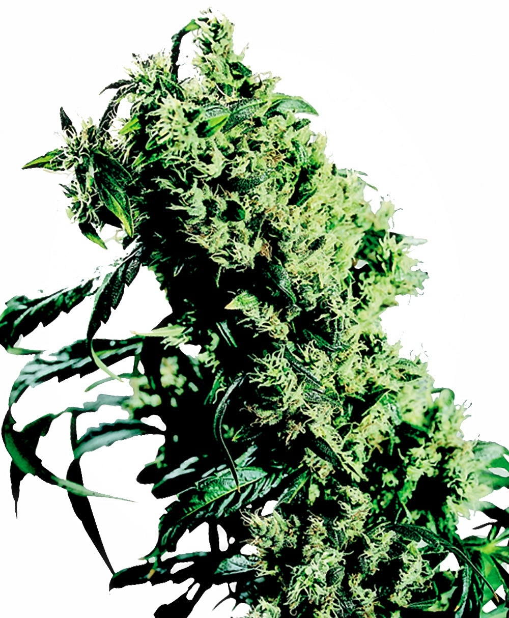 NL#5 x Haze Feminised Seeds