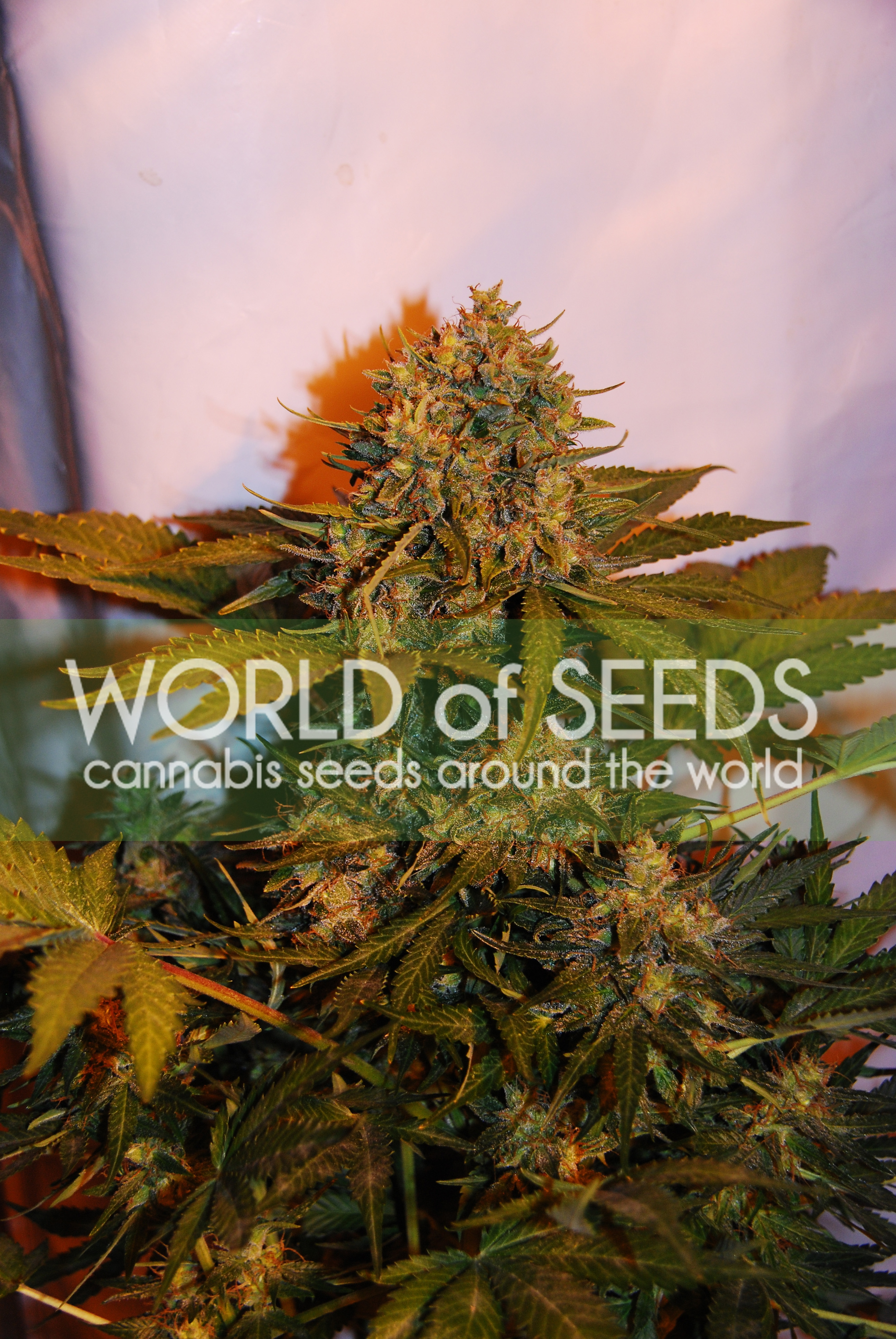 Northern Lights x Big Bud Ryder Auto Feminised Seeds